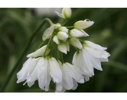 Allium zebdanense (Libanon-Lauch)