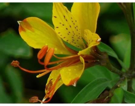 Inkalilie (Alstroemeria aurea x caryophyllea)