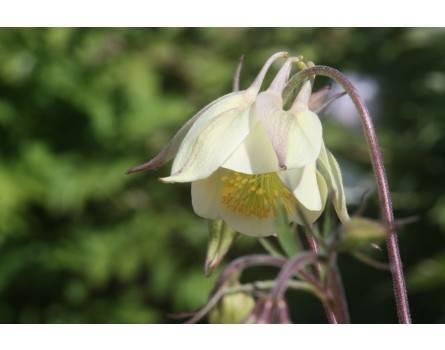 Duft-Akelei (Aquilegia fragrans)