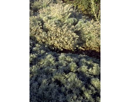 Teppich-Wermut (Artemisia assoana)