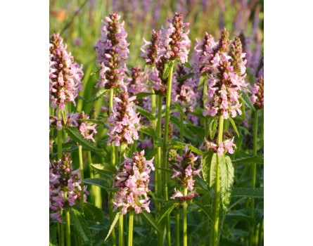 Heilziest (Betonica officinalis)