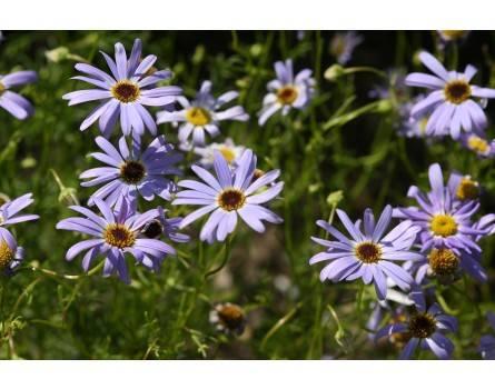 Blaues Gänseblümchen (Saatgut)
