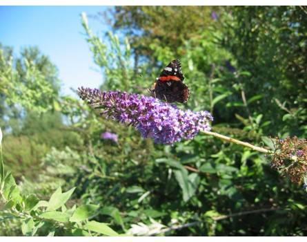 """Zwerg-Schmetterlingsflieder (Buddleia davidii """"Nana"""")"""