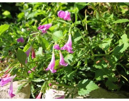 Großblütigen Bergminze (Calamintha grandiflora)
