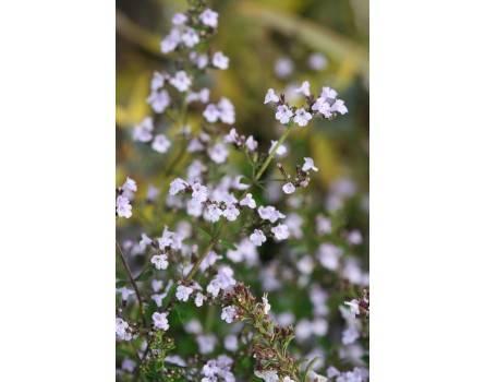 Kleinblütige Bergminze (Calamintha nepetoides)