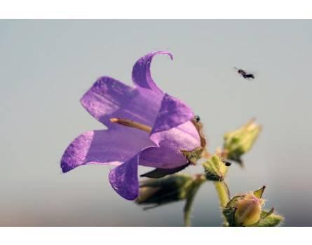 Campanula trachelium (Nessel-Glockenblume)