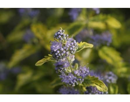 "Bartblume (Caryopteris clandonensis ""Summer Sorbet"")"
