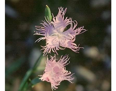 Montpellier-Nelke (Dianthus monspessulanus)