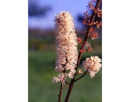 "Purpur-Silberkerze (Cimicifuga ramosa ""Atropurpurea"")"