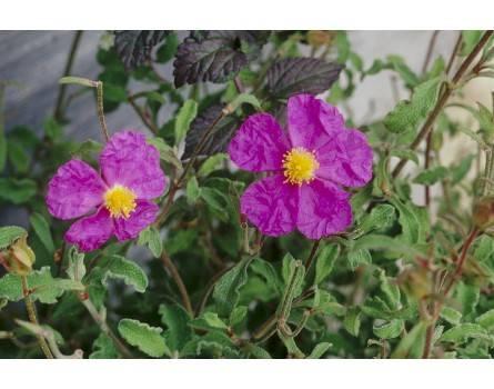 Heil-Zistrose (Cistus incana ssp. tauricus)