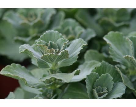 Verpiß-Dich® Pflanze (Coleus canina)