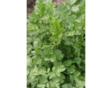 """Blattkoriander (Coriandrum sativum """"Chinesischer"""")"""