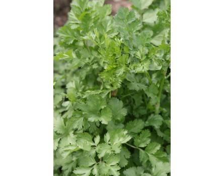 """Blattkoriander Cilantro (Coriandrum sativum """"Chinesischer"""")"""