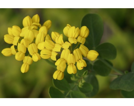 Coronilla valentina ssp. glauca (Blaugrüne Kronwicke)