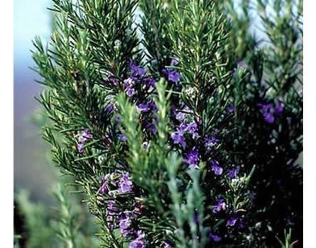 "Rosmarin-Auslese (Rosmarinus officinalis ""Salem"")"