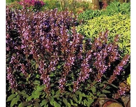 "Salbei-Auslese (Salvia officinalis ""Purpurascens"")"