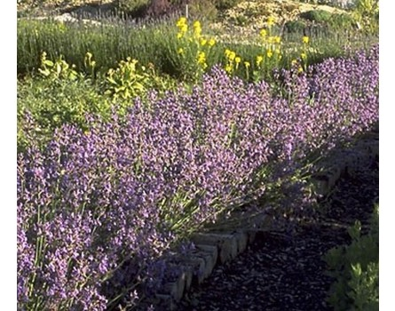 "Spanische Salbei (Salvia lavandulifolia ""Sierra Nevada"")"