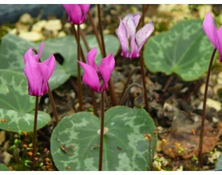 Europäische Alpenveilchen (Cyclamen purpurascens)