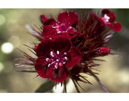 "Samt-Bartnelke (Dianthus barbatus ""Atropurpureus"")"
