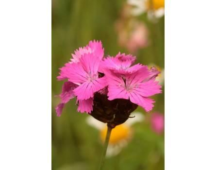 Dianthus carthusianorum (Karthäusernelke)