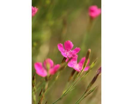 Heidenelke, Wildform (Dianthus deltoides)