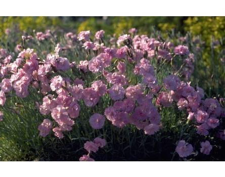 "Federnelke (Dianthus plumarius ""Duftwolke"")"