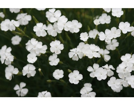 Nachtduft-Nelke (Dianthus strictus var. bebius)