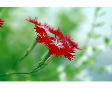 """Dunkelrote Prachtnelke """"Crimsonia"""" (Dianthus superbus)"""