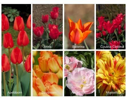 Dufte Tulpen