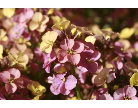 Erysimum 'Plant World Rainbow' (Goldlack 'Plant World Rainbow')
