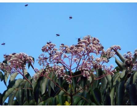 Bienenbaum (Euodia hupehensis)