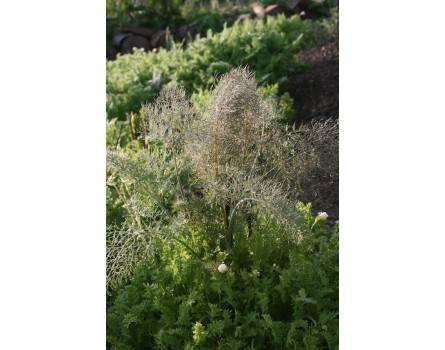Fenchel (Foeniculum vulgare var. rubrum)