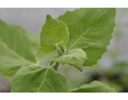 Gelbe Gartenmelde (Saatgut)