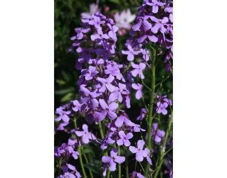 Tundra-Nachtviole (Hesperis steveniana)