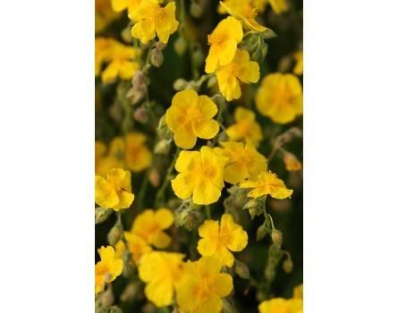 Gemeines Sonnenröschen (Helianthemum nummularium)