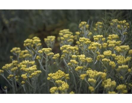 Currykraut (Helichrysum angustifolium)