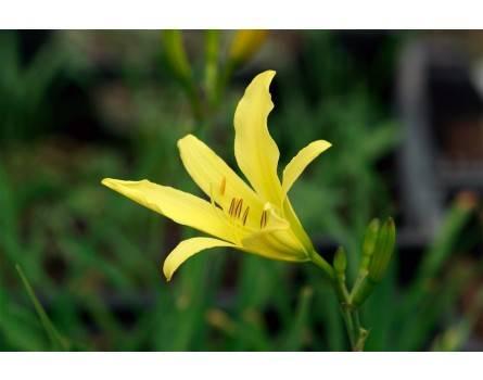 Zitronen-Taglilie (Hemerocallis citrina)
