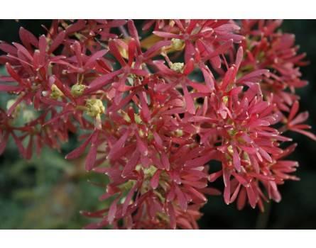 Sieben-Söhne-des-Himmels Strauch (Heptacodium miconioides)
