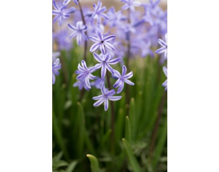 Wilde Hyazinthe (Hyacinthus orientalis)