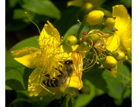 Zitronen-Johanniskraut (Hypericum hircinum)