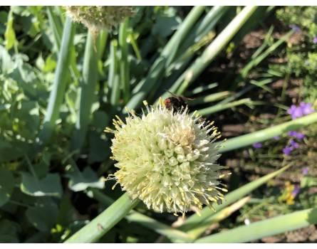 Winterheckenzwiebel (Allium fistulosum)