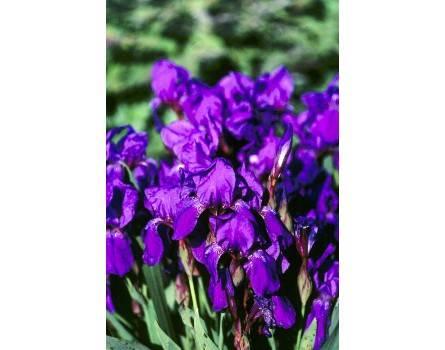 Nacktstengelige Iris (Nacktstengelige Iris)