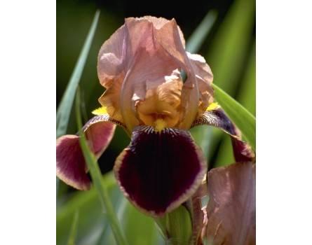 """Schokoladen-Iris (Iris barbata elatior """"Chocolate"""")"""