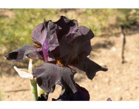 "Iris-Sorte (Iris barbata ""Old Black Magic"")"