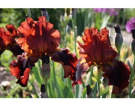 Iris barbata 'Wine and Roses' (Schokoladen-Iris 'Wine and Roses')