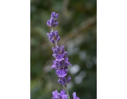 "Lavendel-Sorte ""Elisabeth"""