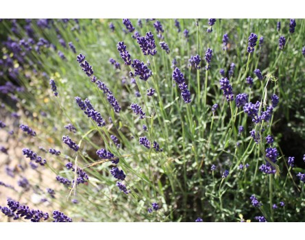 "Lavendel-Sorte ""Hidcote Blue"""