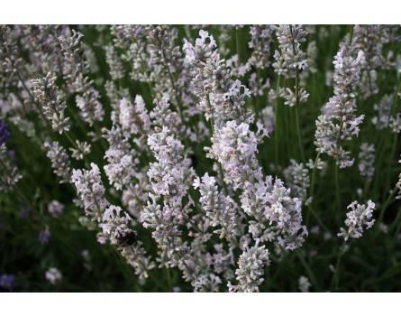 "Lavendel-Sorte ""Hidcote Pink"""