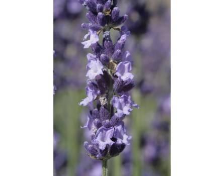 "Lavendel-Sorte (Lavandula angustifolia ""Luberon"")"