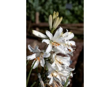 Madonnenlilie (Lilium candidum)